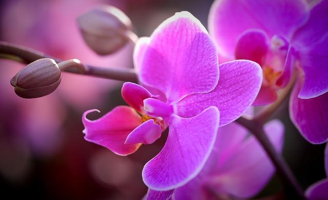 fialková orchidej