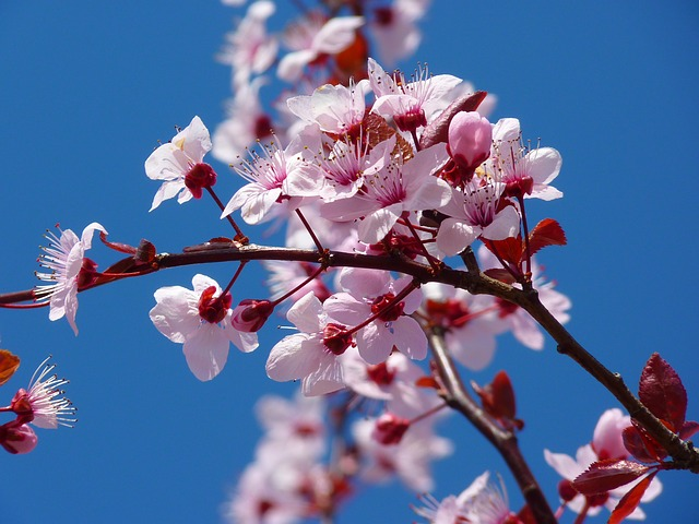 mandlový květ