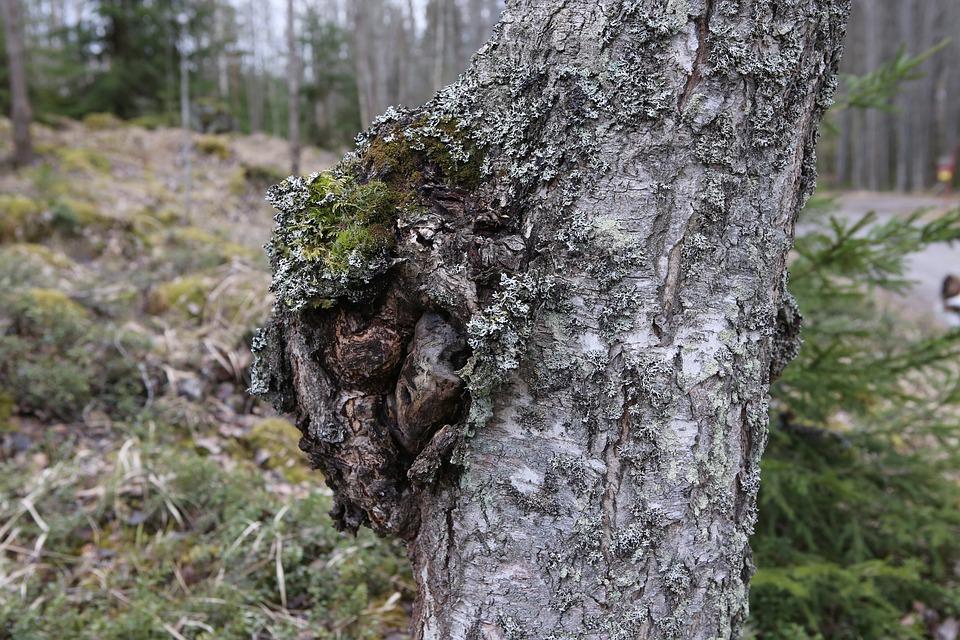 rezavec šikmý na stromě